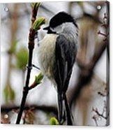 Black-capped Chickadee On Staff Acrylic Print