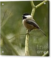 Black-capped Chickadee With Branch Bokeh Acrylic Print
