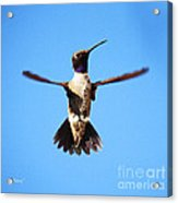 Black-chinned Hummingbird Flying Acrylic Print