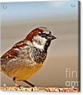 Black-chinned Sparrow Acrylic Print