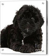 Black Cockerpoo Puppy Acrylic Print
