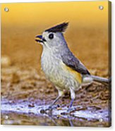 Black Crested Titmouse Acrylic Print