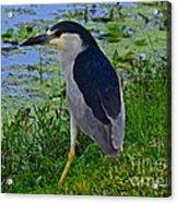 Black Crowned Night Heron II Acrylic Print