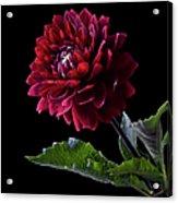 Black Dahlia Acrylic Print