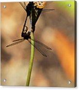 Black Dragonfly Love Acrylic Print