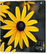 Black-eyed Susan Acrylic Print by Chris Hill