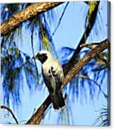 Black Faced Cuckoo Shrike V3 Acrylic Print