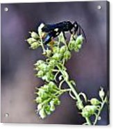 Black Flower Feeding Wasp Acrylic Print