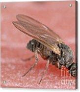 Black Fly Acrylic Print
