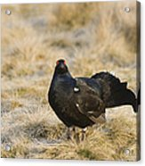 Black Grouse Displaying On A Lek Acrylic Print