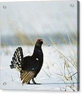 Black Grouse Tetrao Tetrix Acrylic Print by Konrad Wothe