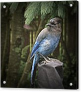 Black Headed Blue Jay Acrylic Print