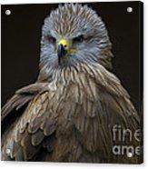 Black Kite 1 Acrylic Print by Heiko Koehrer-Wagner