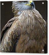 Black Kite 4 Acrylic Print