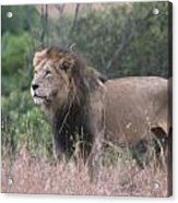 Black Maned  Lion Acrylic Print