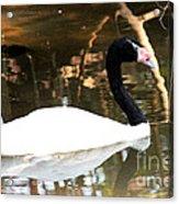 Black Neck Swan Acrylic Print