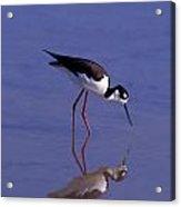 Black-necked Stilt Bird Foraging In Acrylic Print