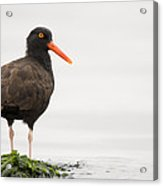 Black Oystercatcher  Martin Luther King Acrylic Print by Sebastian Kennerknecht