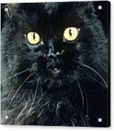 Black Persian Cat Acrylic Print