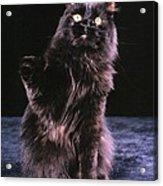 Black Persian Cat Reaches Acrylic Print