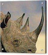 Black Rhinoceros Diceros Bicornis Close Acrylic Print