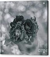 Black Rose With Bokeh Acrylic Print
