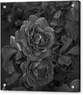 Black Roses Acrylic Print