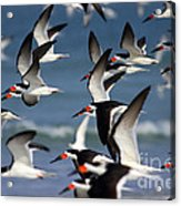 Black Skimmers Flock Acrylic Print by Clarence Holmes