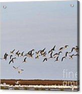 Black Skimmers In Flight Acrylic Print