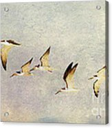 Black Skimmers On The Move Acrylic Print