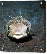 Black-spotted Porcupinefish Acrylic Print by Georgette Douwma
