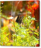 Black Swallow Tail Butterfly In Autumn Colors Acrylic Print
