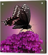 Black Swallowtail 1 Acrylic Print
