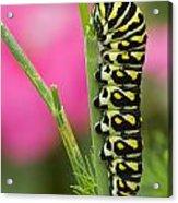 Black Swallowtail Caterpillar On Garden Acrylic Print