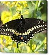 Black Swallowtail Acrylic Print