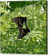 Black Swallowtails Mating Acrylic Print