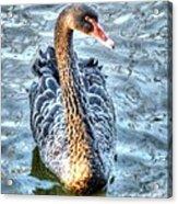 Black Swan Event Acrylic Print