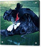 Black Swan Grooming Acrylic Print