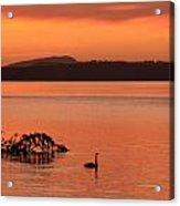 Black Swan Swims In Rotortua Acrylic Print