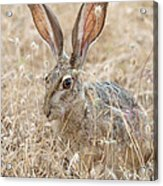 Black-tailed Hare Acrylic Print