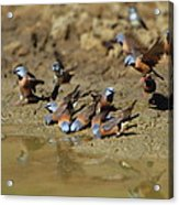 Black-throated Finches At Waterhole Acrylic Print