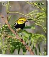 Black-throated Green Warbler Acrylic Print