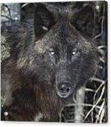Black Timber Wolf Acrylic Print