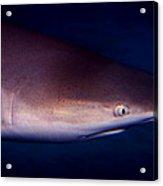 Black Tip Reef Shark Acrylic Print