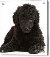 Black Toy Poodle Pup Acrylic Print