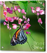 Black Veined Tiger Butterfly Acrylic Print