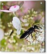 Black Wasp 1 Acrylic Print
