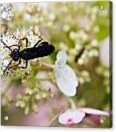 Black Wasp 2 Acrylic Print