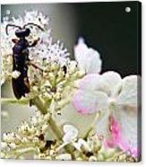 Black Wasp 3 Acrylic Print