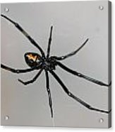 Black Widow Acrylic Print